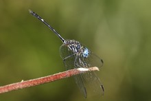 Dragonfly Micrathyria Aequalis, Costa Rica, Central America