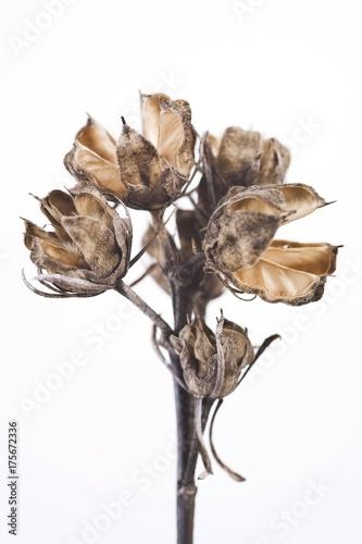 Valokuva  Wilted Lilac (Syringa)