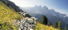 Edelweiss (Leontopodium Nivale), Geisler Group At The Back, Aferer Geisler Mountains, Villnoesstal Valley, Province Of Bolzano-Bozen, Italy, Europe