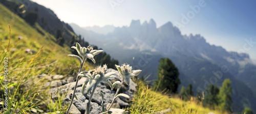 Photo Edelweiss (Leontopodium nivale), Geisler group at the back, Aferer Geisler mount