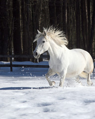 Tica Trotting Through Snow