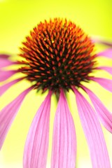 Obraz na Szkle Eastern Purple Coneflower (Echinacea purpurea)