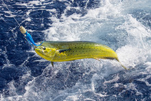 Fresh Mahi Mahi Being Caught I...