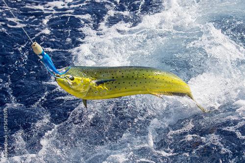 Poster Peche Fresh Mahi Mahi being caught in ocean