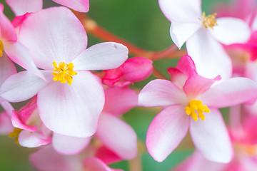 FototapetaPink plumeria flower