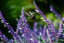 Anna's Hummingbird In Flight F...