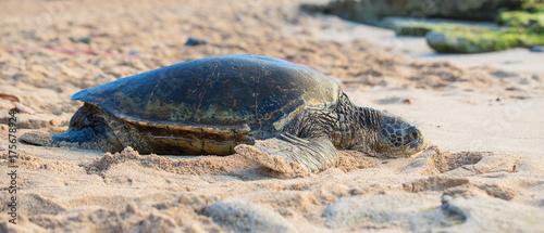 Plakat Hawajski żółw morski