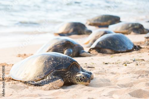 Fotografia Hawaiian Green Sea Turtle