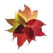 Leinwanddruck Bild - Autumn leaves, vine leaves