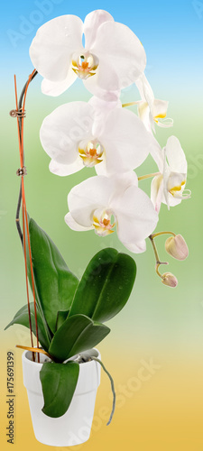 Orchidée Blanche Sur Fond Couleur Buy This Stock Photo And
