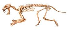 Saber - Toothed Tiger ( Hoplop...