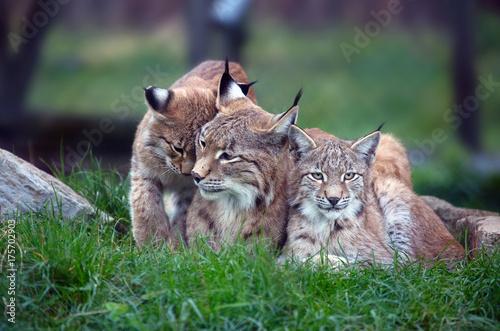 Fotobehang Lynx Familie Luchse