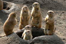 Prairie Dog Family Watching Ar...