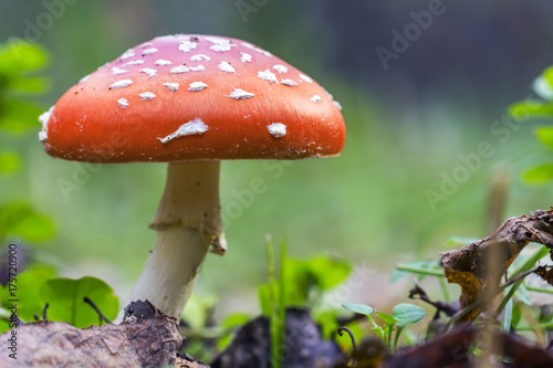 Photo Red fly agaric mushroom or toadstool in the grass