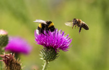 Bumblebee And Bee In Flight Near The Flower