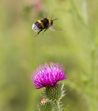 Bumblebee In Flight At The Flo...