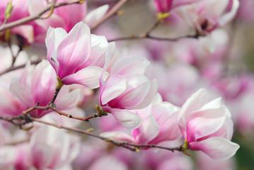 FototapetaMagnolia Flowers, Tree Branch Detail