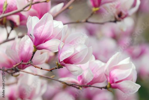 Canvas Prints Magnolia Magnolia Flowers, Tree Branch Detail