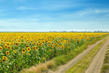 Beautiful Sunflower Field On S...