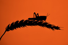 A Single Desert Locust, Perched On A Single Wheat Sheaf, Silhouetted Against A Deep Red Background
