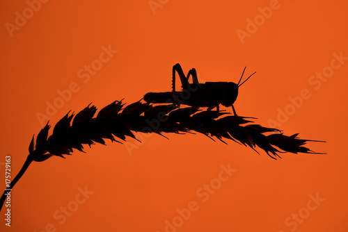 Fotografía A single Desert Locust, perched on a single wheat sheaf, silhouetted against a d