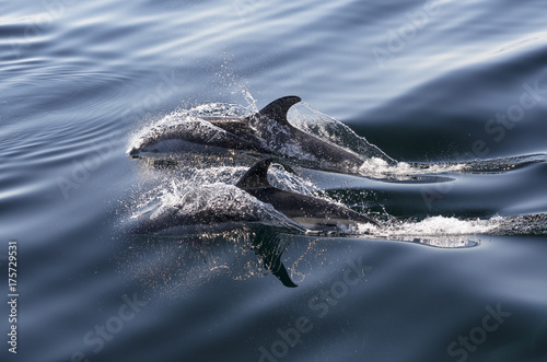 Fotografia, Obraz Atlantic White-Sided Dolphins