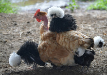 Naked Neck Hen With Frizzle Po...