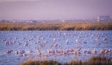 Flamingos In The Ebro Delta Na...