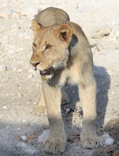 Relaxed Adolescent Lion Standi...