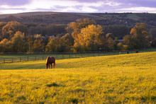 Grazing Horse On Pasture In Au...