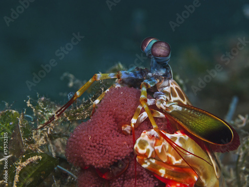 Mantis shrimp with eggs (Odontodactylus scyllarus)