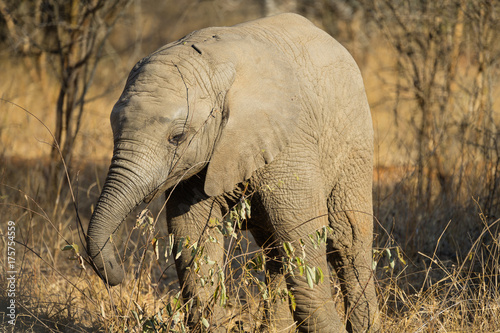 Baby African elephant eating leaves