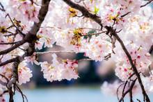 Beautiful Cherry Blossom In Wa...