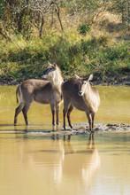 Two Female Waterbuck Antelopes...