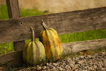 Two Mature Pumpkins On A Woode...