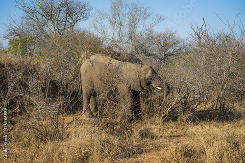 African elephant standing up eating leaves