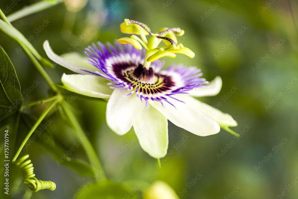 Fototapeta Passion flower (Passiflora incarnata) with details
