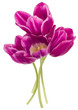 lilac tulip flowers bouquet isolated on white background cutout