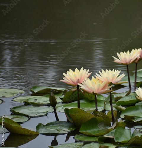 Fototapeta Water Lily Garden Pond Sceneria