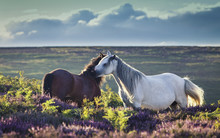 Wild Horses On Upland Heathlan...