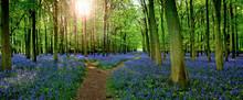 Sun Filtering Through Woodland With Carpet Of Bluebells  (Hyacinthoides Non-scripta) In Hertfordshire England UK