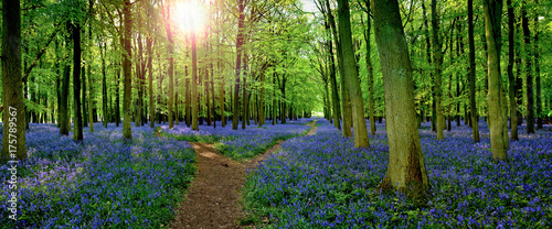 Photo Sun filtering through woodland with carpet of bluebells  (Hyacinthoides non-scri