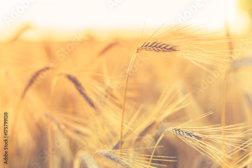 Poster Amsterdam Abstract wheat close up. Natural agriculture background