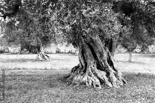 Foto op Aluminium Olijfboom Giant olive tree on olive production farm , Puglia, Italy (Black and White version)