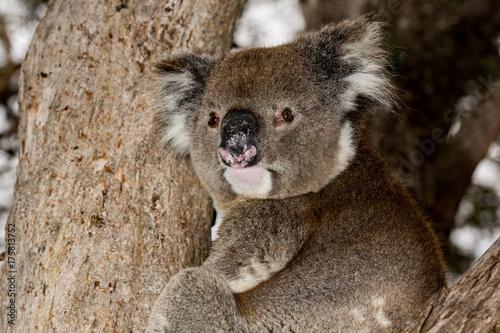 Poster Koala Wild koala on a tree while looking at you in kangaroo island