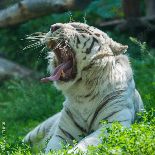 Plakat Ziewać białego tygrysa w pogodnym wiosna dniu