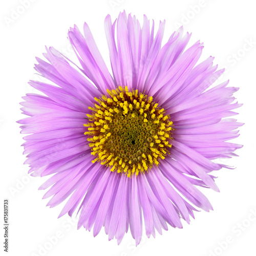 Pink flower with long petals isolated on white background Wallpaper Mural