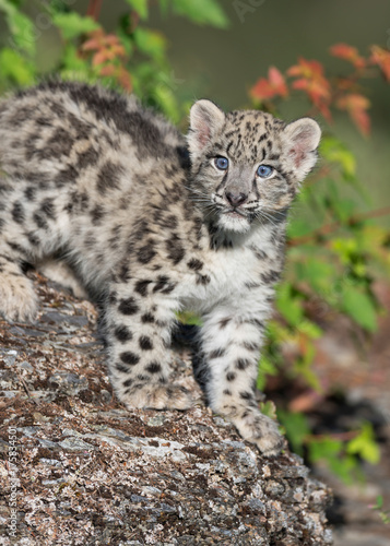 Tuinposter Luipaard Snow Leopard Kitten on rocky surface in the woods