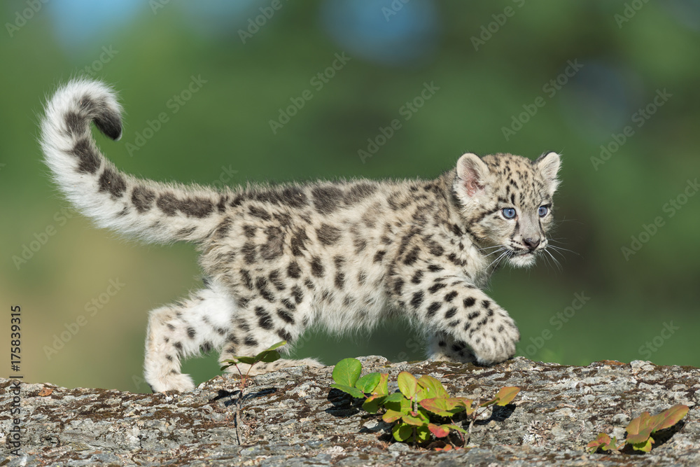 Single snow leopard cub prowling on rocky surface