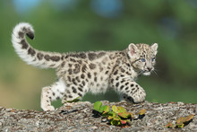 Single Snow Leopard Cub Prowli...